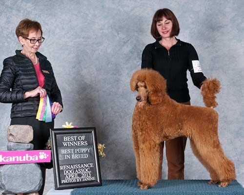 Gillian starting her championship going Best of Winners  from the Bred-By Class at 7 months old.